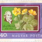 Вальдштейния гравилатолистная. Waldsteinia Geoides. Magyar Posta. 40f. 0 г. 50 RUB